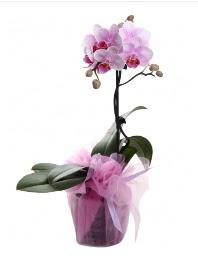 1 dal pembe orkide saksı çiçeği  Balıkesir kaliteli taze ve ucuz çiçekler
