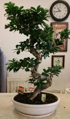 100 cm yüksekliğinde dev bonsai japon ağacı  Balıkesir İnternetten çiçek siparişi