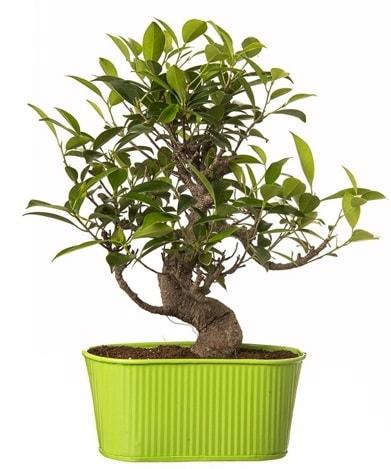 Ficus S gövdeli muhteşem bonsai  Balıkesir çiçek siparişi sitesi